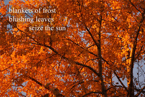 blankets of frost / blushing leaves /seize the sun --- by Linda Pilarski