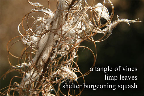 a tangle of vines / limp leaves / shelter burgeoning squash